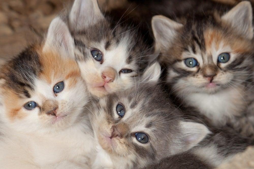 toxoplasmosis-four-kittens-blue-eyes   American Pregnancy Association